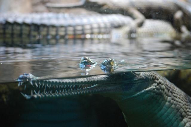 крокодил в зоопарка в прага