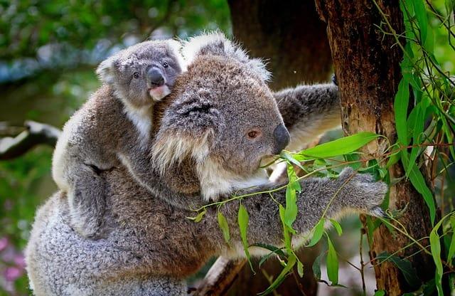 koala-baby